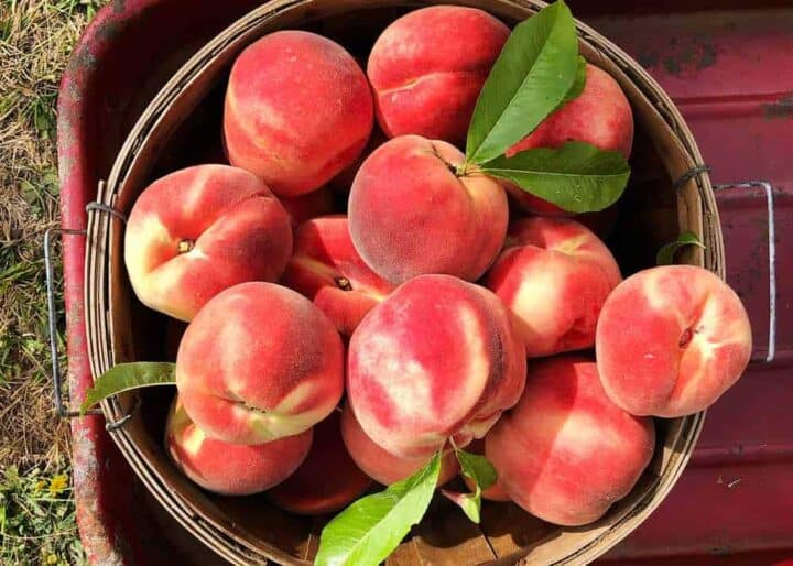 basket of freshly picked peaches